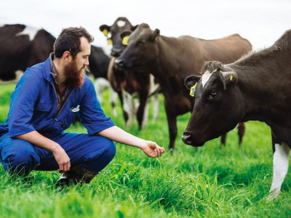 Fonterra farmer feeding cows with grass